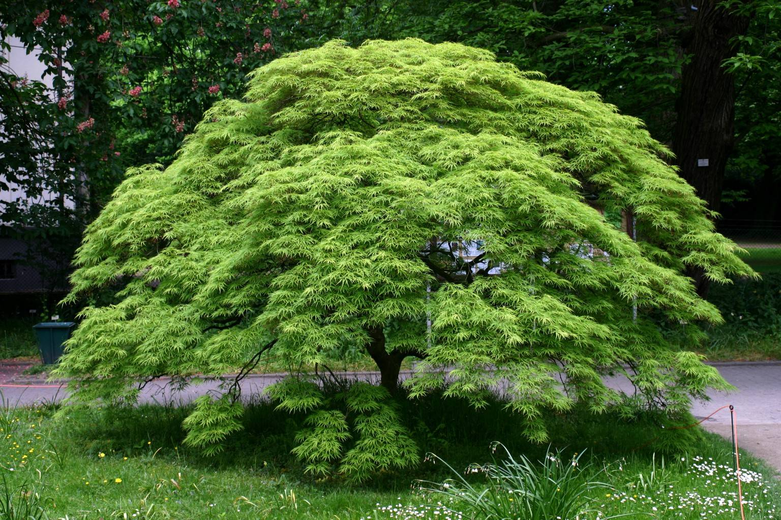 Acer palmatum diss. Green Lace