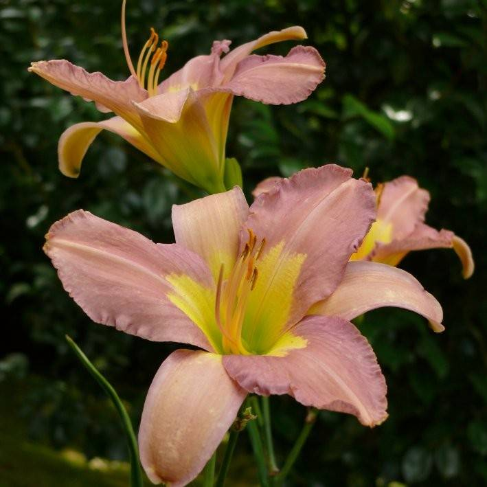 Hemerocallis Banana's Punch