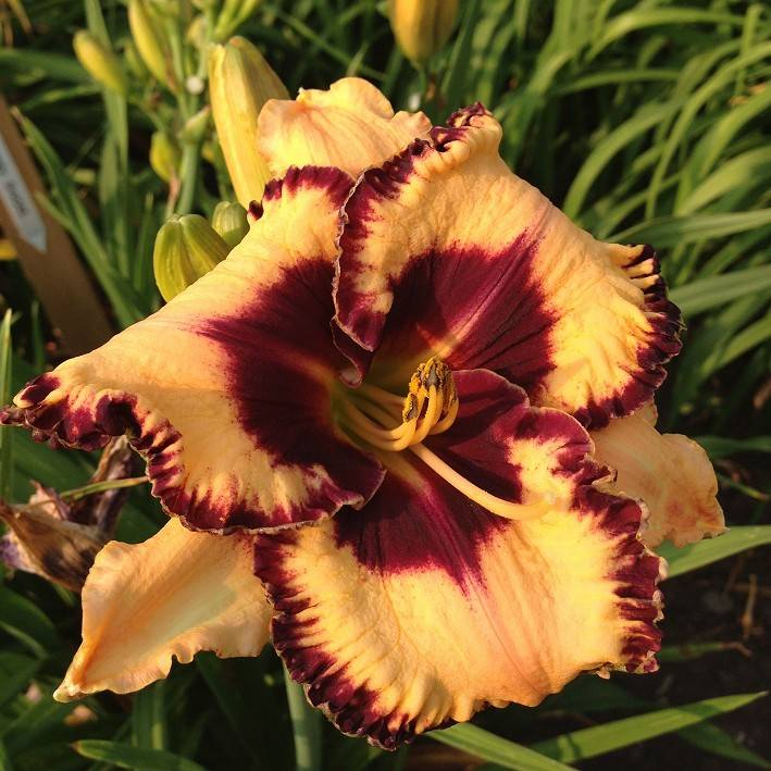 Hemerocallis Open My Eyes