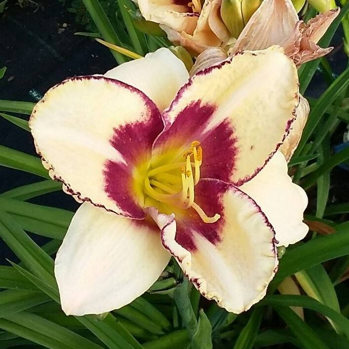 Hemerocallis Rainbow Candy