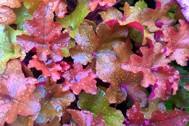 Heuchera Red Sea
