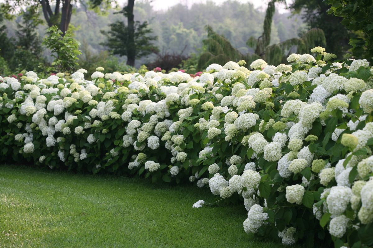 Hydrangea arborescens Incrediball ® Strong Annabelle