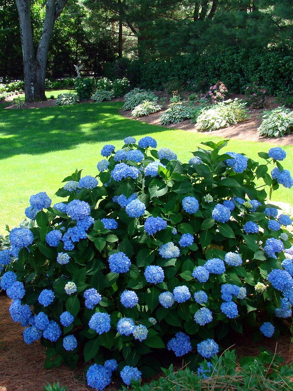 Hydrangea macrophylla Endless Bloom