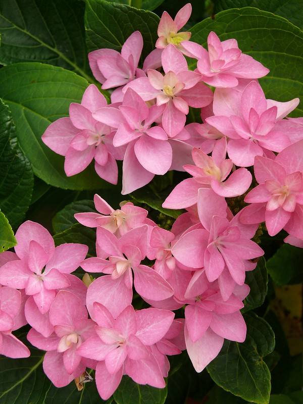 Hydrangea macrophylla You and Me ® Romance