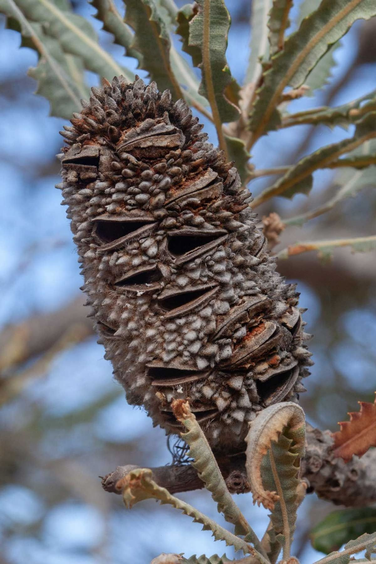 Banksia prionotes fruit