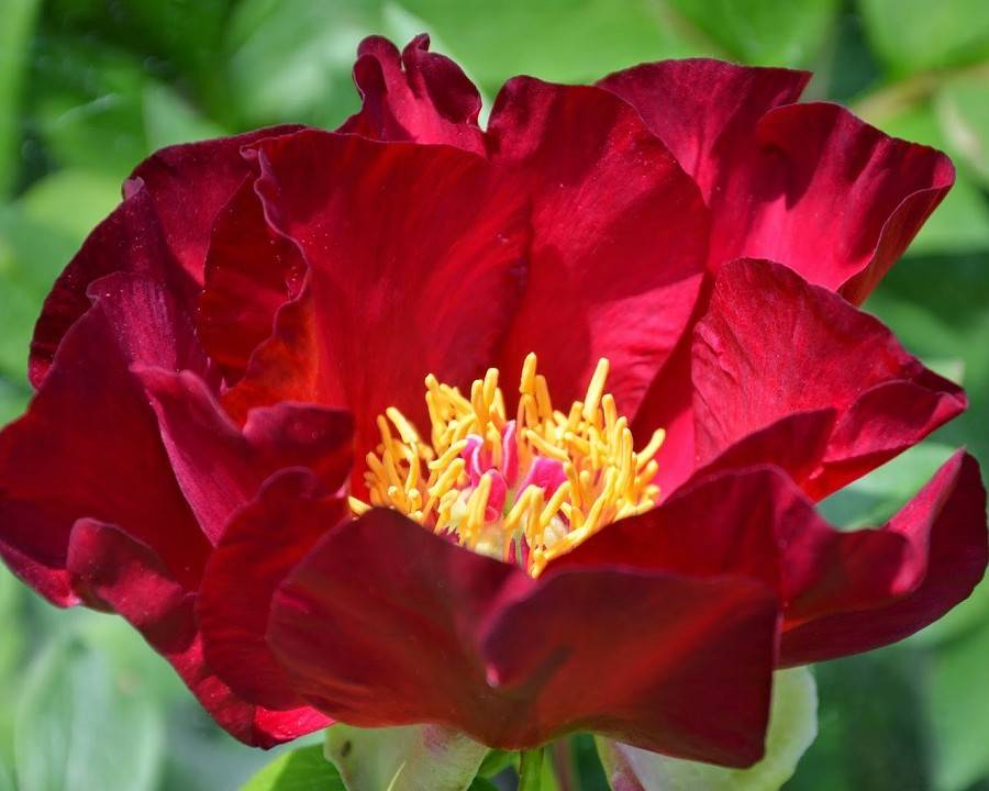 Paeonia Itoh Scarlet Heaven