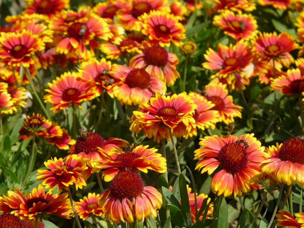 Gaillardia Sunrita Yellow Red